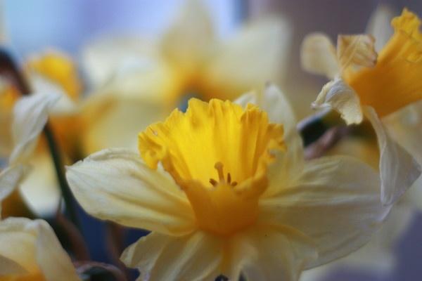 Daffodils by Henshall