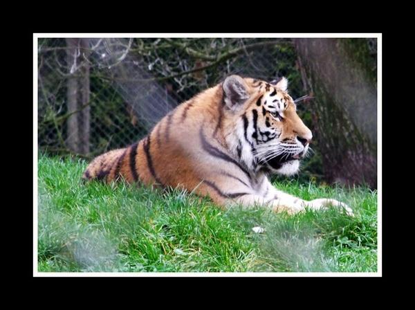 Tiger needs help by PhilT2