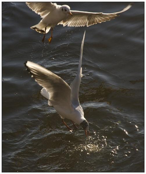 Black Headed Gull by jasonrwl
