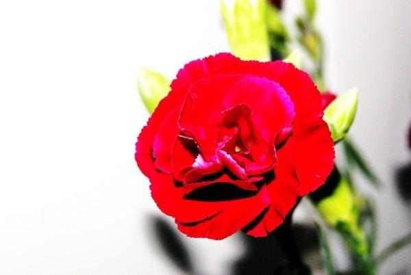 red flower by LaurenRyanne