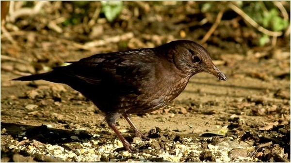 Blackbird by Alan_Baseley