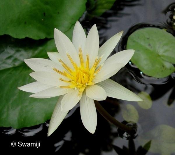 White Beauty by Swamiji