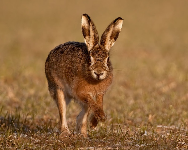 Brown Hare by terry_cavner