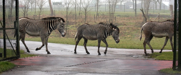 zebra crossing by drewd