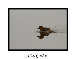 Little Grebe