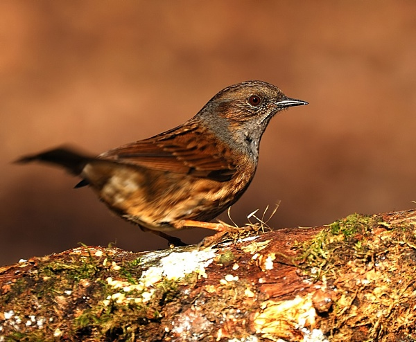 Dunnock by dickiedriver