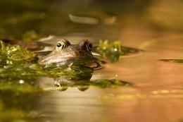 Frog on pond