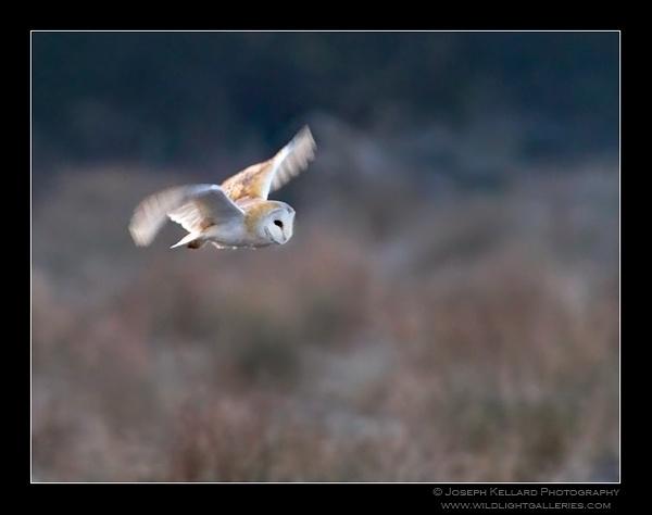 Barn Owl at Dawn by WildLight