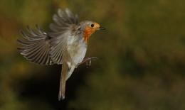 Robin.. again