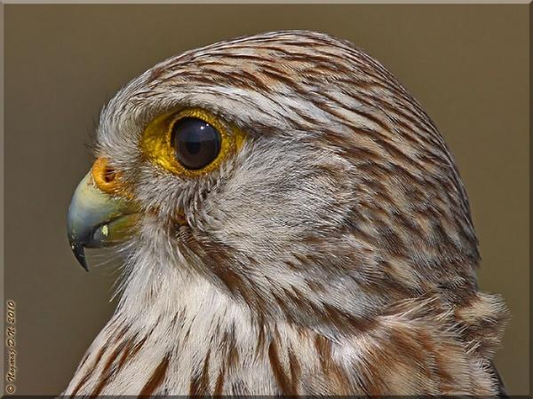 Common Kestrel by nasoteya