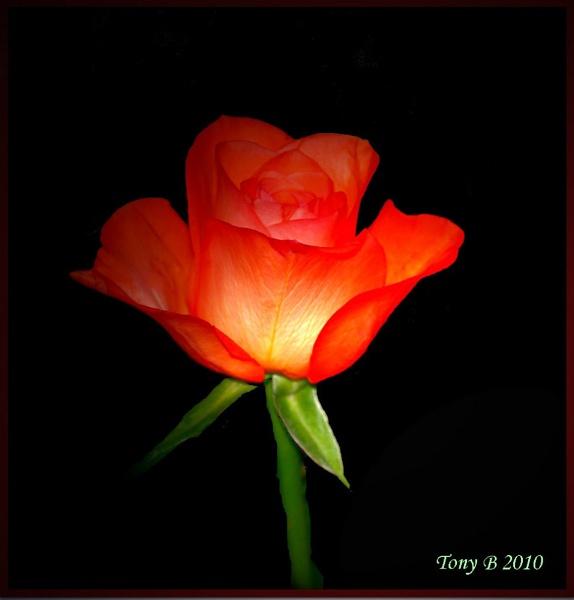 Rose on Black by Tony_B