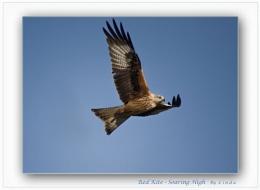 Red Kite Soaring High