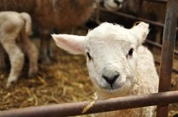 The curious lamb