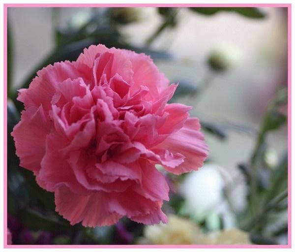 pink carnation by RobbieWales