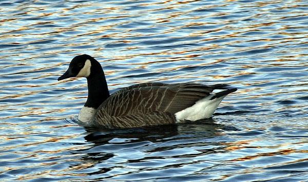 canadian goose by RobbieWales
