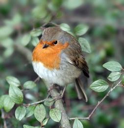 Robins Mate