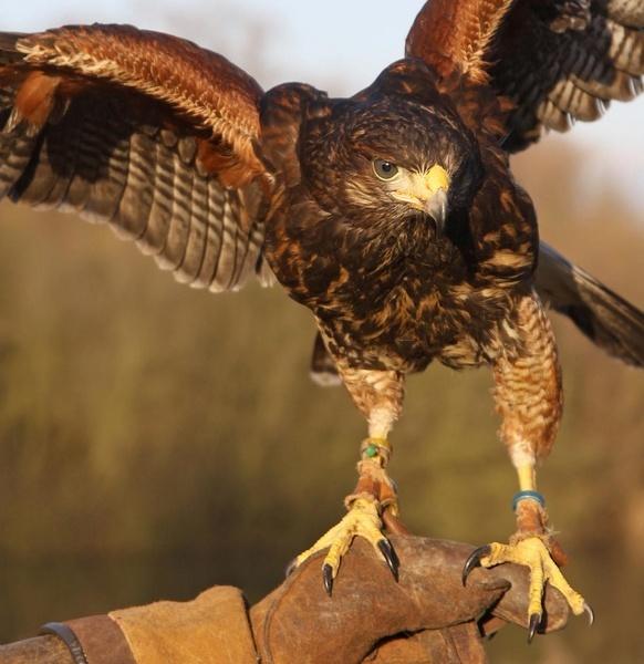 Harris Hawk by RTR