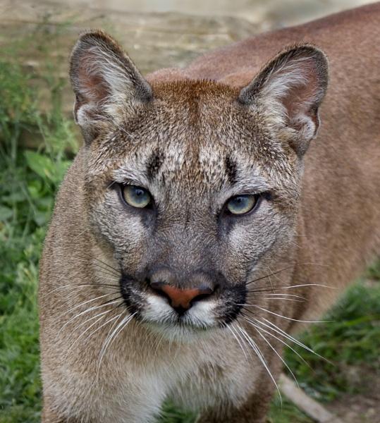 Puma. by baclark
