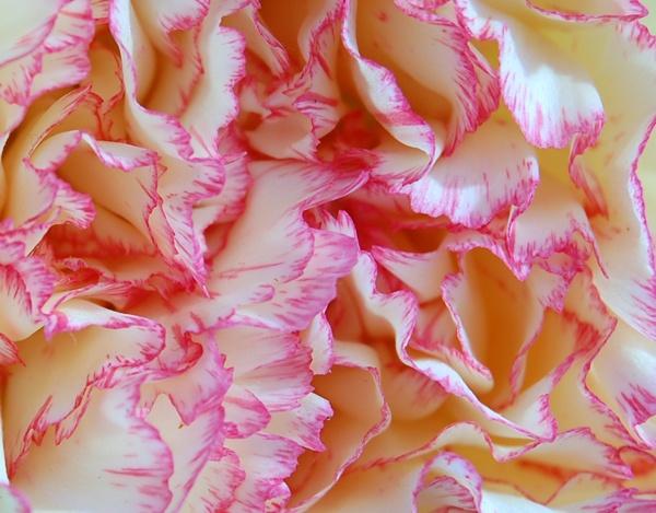 Carnation by linda68