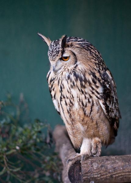 European Eagle Owl by Davlaw