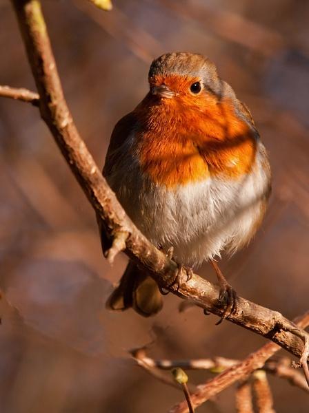 Robin by dewie