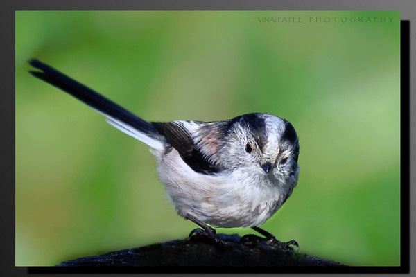 Long Tailed Tit by VINAI_OF_THE_BOSTON_RED_SOX