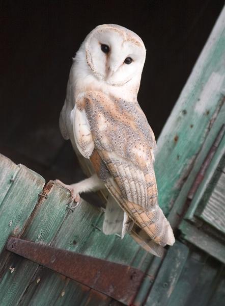 BARN OWL by sophielou