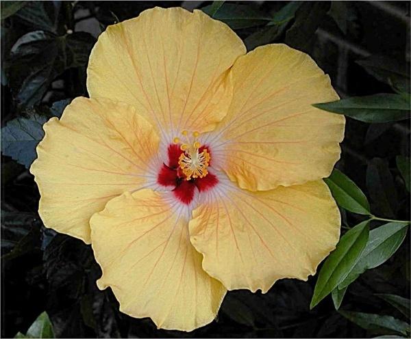 Golden Hibiscus by Swamiji