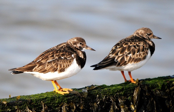 Turnstones by mike