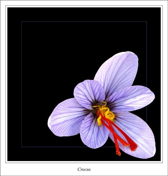 Crocus by cantona43