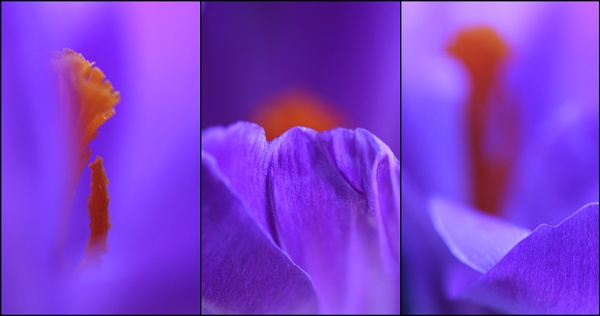 3 x Crocuscolour by BeiK