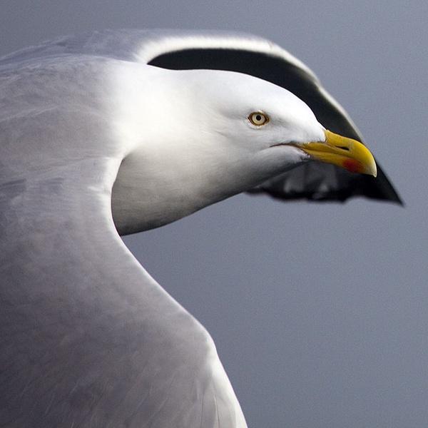 Herring Gull by MarcPK