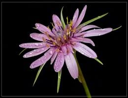 tragopogon sinuatum