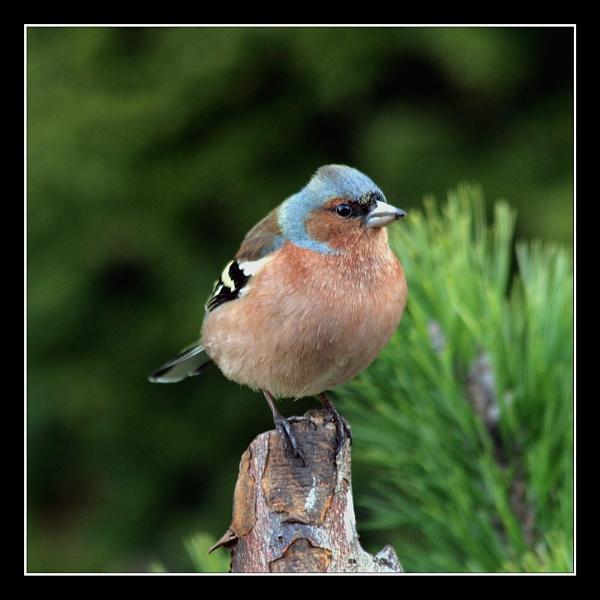 Male chaffinch by oldgreyheron