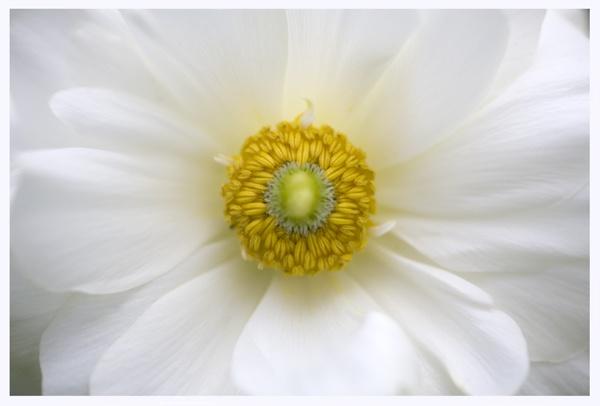 Ranunculus by brianhaslam