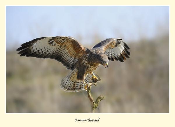 Common Buzzard by BobA