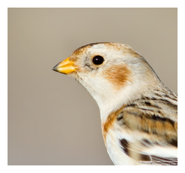 Snow Bunting Close-up by WildLight