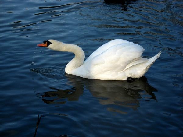 swan by firepoi69