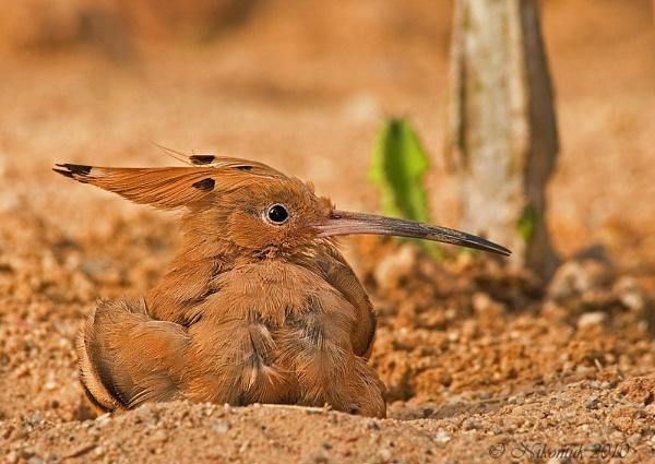 Sand Bath by FeatherFriend