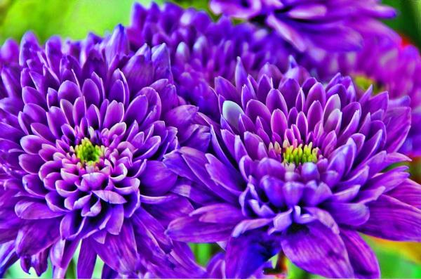 Purple Crysanthemum by Jez22