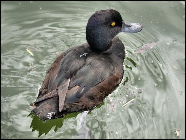Duck? by welshjohn