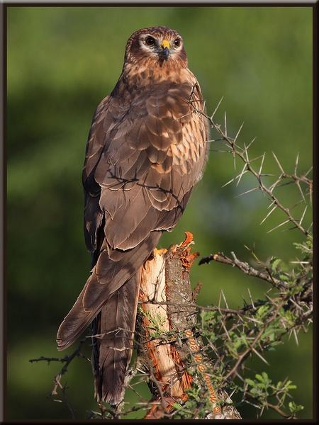 Montagus Harrier by nasoteya