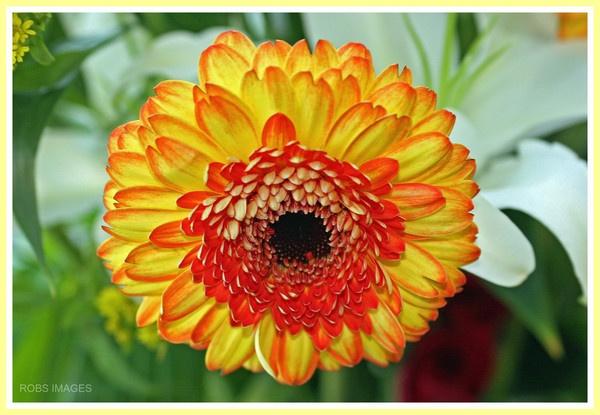 Orange and red flower by RobbieWales