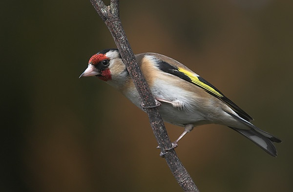 Goldfinch by Zoundz