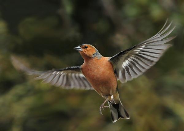 Chaffinch in Flight by NicolaCariad