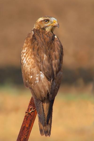 buzzard by fighterjockey