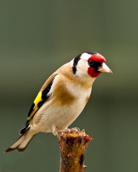 Goldfinch by canonfan46