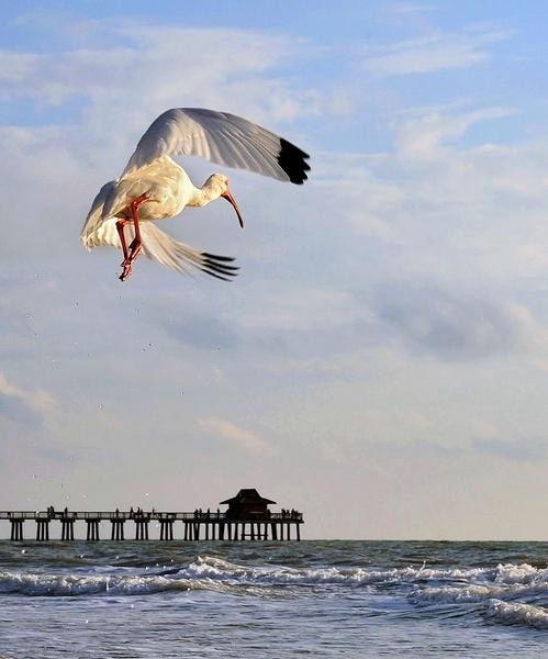 white ibis by Oakenshield