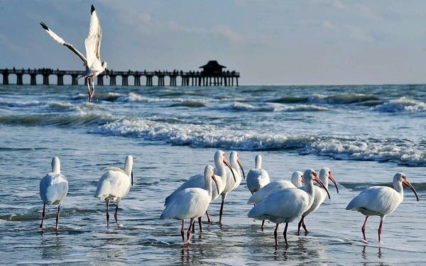 white ibis 2 by Oakenshield