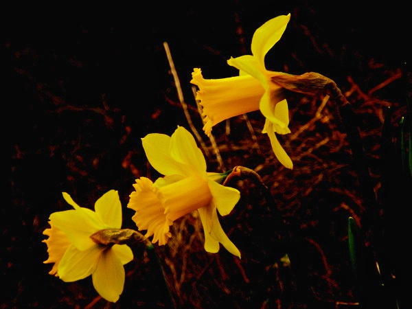 Daffs by Vince52